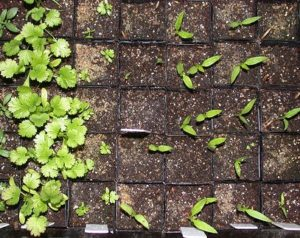 sprout seedlings faster with food grade hydrogen peroxide